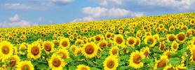 sunflower_g